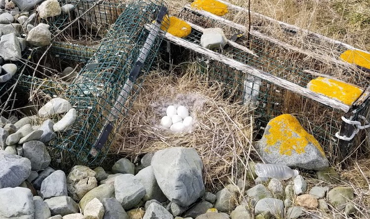 Canada Goose nest - Gull Island, March 29, 2020 - Alix d'Entremont photo