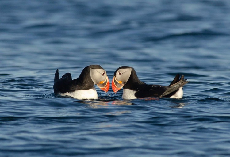 Atlantic Puffins butting bills together, Green Island, Shelburne Co., NS - June 22, 2014 - Ronnie d'Entremont photo