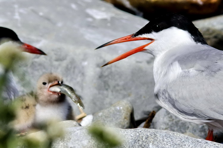 Common Tern chick swallowing a Mummichog - Gull Island, July 16, 2018 - Ted D'Eon photo