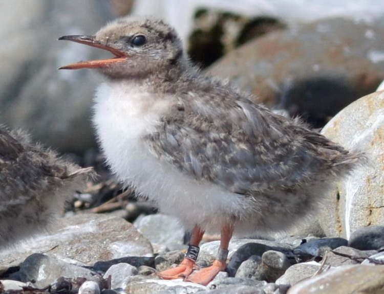 Common Tern chick R76 - Gull Island, July 16, 2018 - Ted D'Eon photo