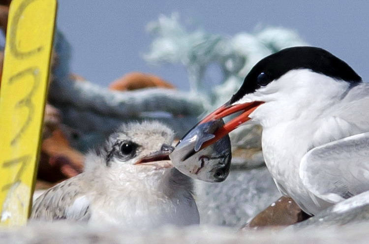 Common Tern chick being presented a Butterfish - Gull Island, July 16, 2018 - Ted D'Eon photo