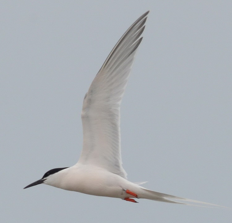 Roseate Tern - North Brother, May 24, 2017 - Ted D'Eon photo