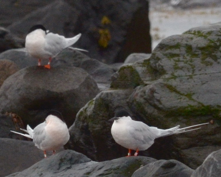 Some of the Roseate Terns - North Brother, May 24, 2017 - Ted D'Eon photo