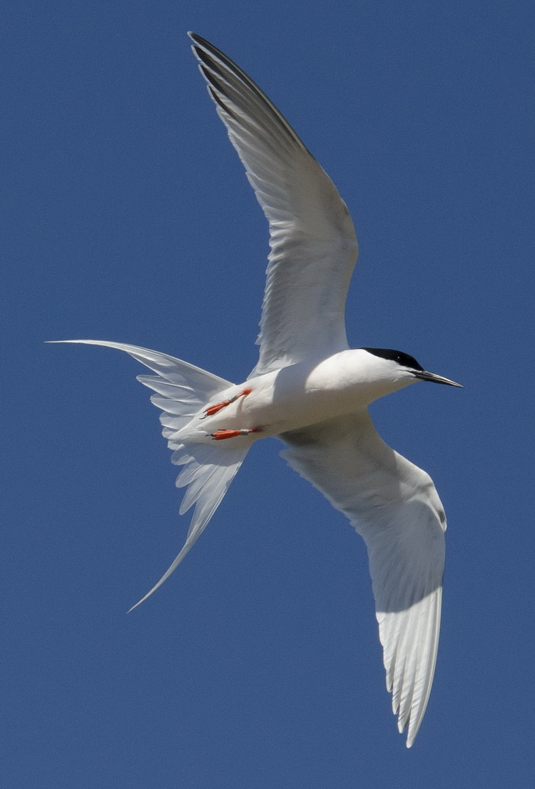 One of the Roseate Terns flying overhead - North Brother, May 30, 2017 - Ted D'Eon photo