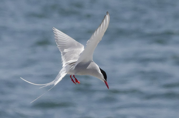 Arctic Tern - North Brother, May 30, 2017 - Ted D'Eon photo