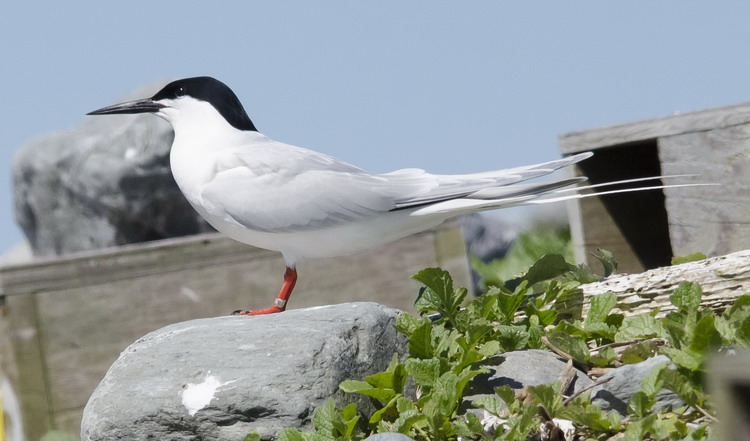 Roseate Tern with foreign? band - North Brother, June 4, 2017 - Ted D'Eon photo