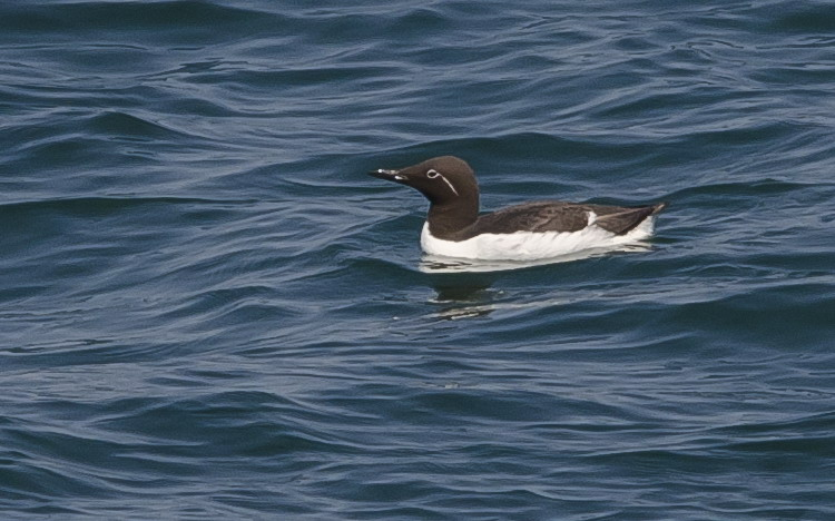 One of the Common Murres - Green Rock, NS, June 29, 2014 - Ted D'Eon photo
