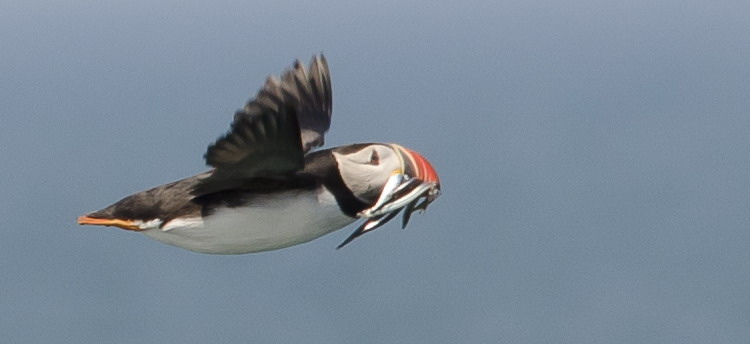 Atlantic Puffin at Green Rock, NS, June 29, 2014 - Ted D'Eon photo