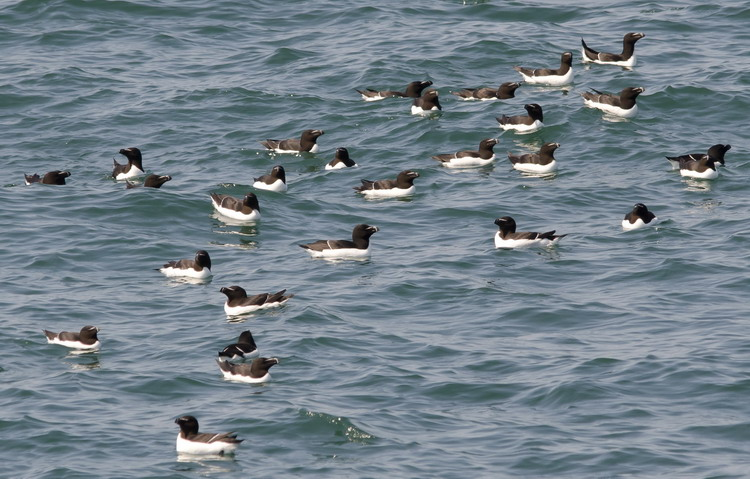 Some of the many Razorbills at Green Rock, NS, June 29, 2014 - Ted D'Eon photo