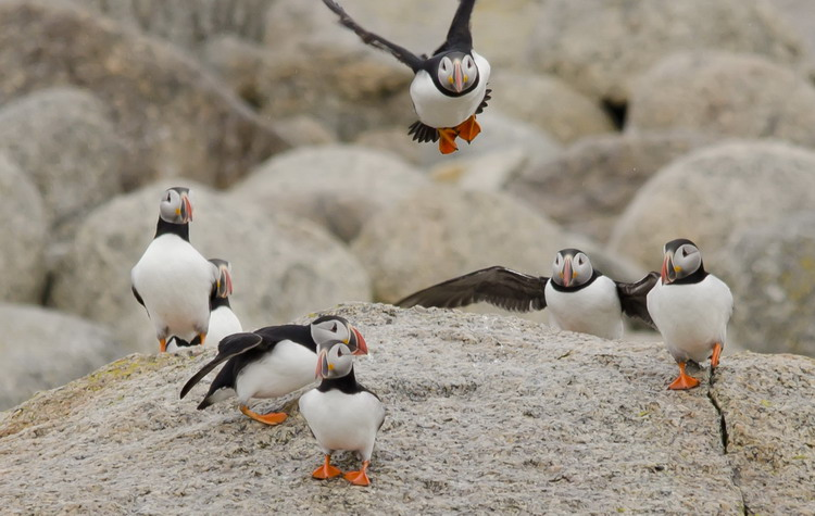 Some of the many Puffins - Round Island, May , 2012 - Ted D'Eon photo