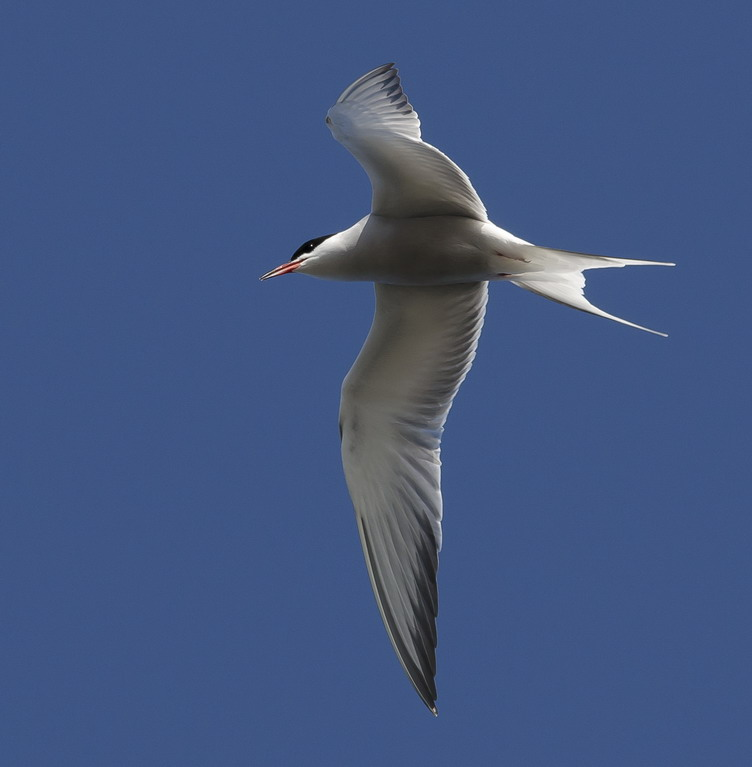 A Common Tern flying overhead - S. Brother, May 12, 2012 - Ted D'Eon phot