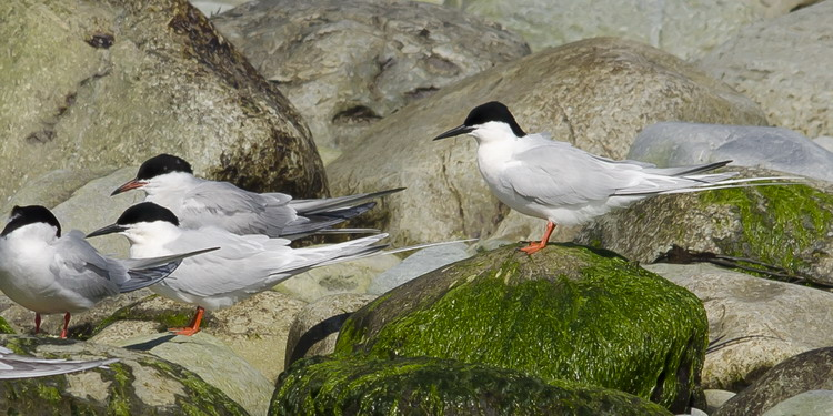 Two of the Roseate Terns with two Common Terns - N. Brother, May 12, 2012 - Ted D'Eon photo
