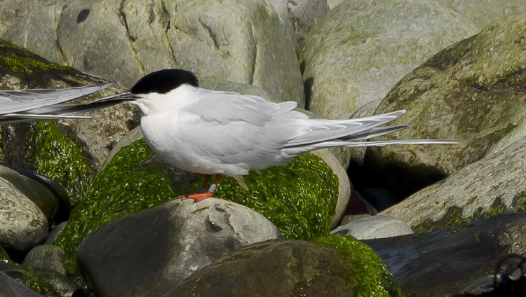 A banded Roseate Tern - N. Brother, May 12, 2012 - Ted D'Eon photo