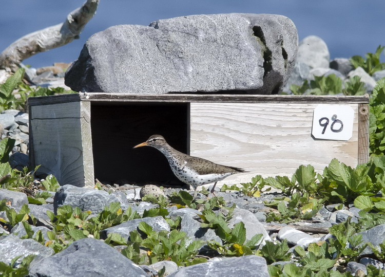 Spotted Sandpiper making its rounds - North Brother, June 8, 2017 - Ted D'Eon photo
