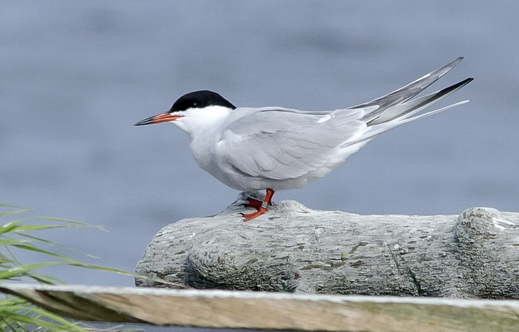 A banded Common Tern on N. Brother, May 15, 2012 - Ted D'Eon photo