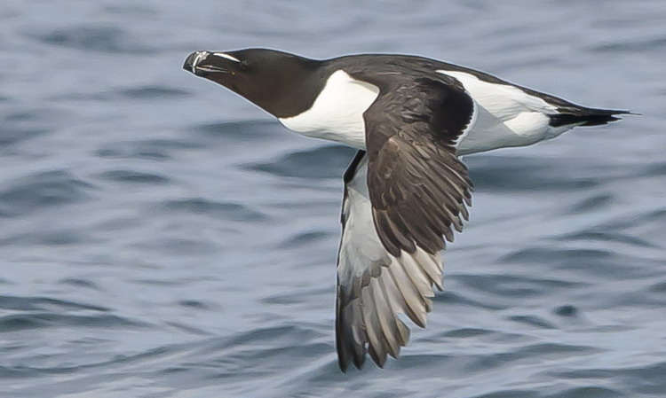 One of the many Razorbills of Green Rock on June 2, 2012 - Ted D'Eon photo