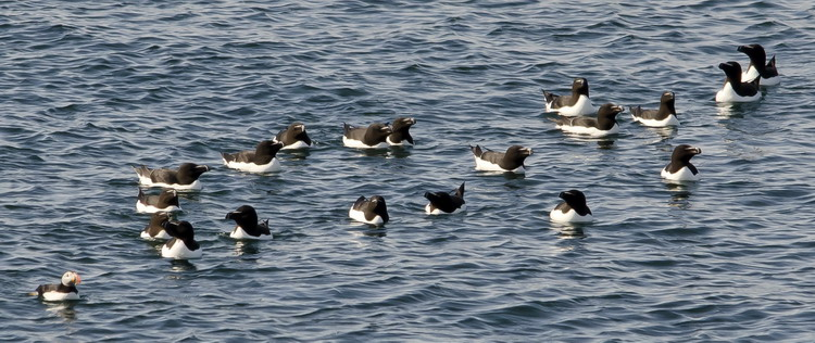 Puffin and Razorbills of Green Rock on June 2, 2012 - Ted D'Eon photo