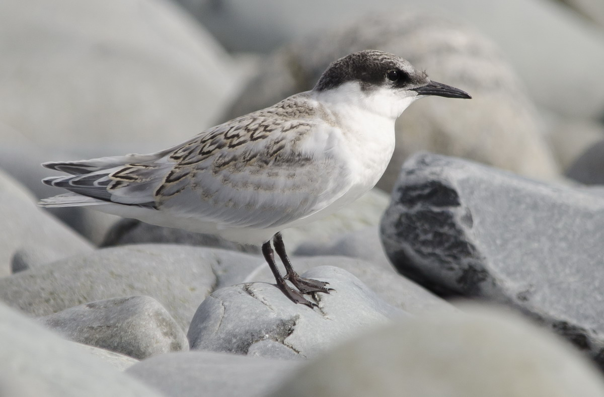 Juvenile Roseate Tern, North Brother, Nova Scotia - July 30, 2014 - Ted D'Eon photo