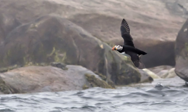 Puffin flying by at Round Island, June 8, 2012 - Ted D'Eon photo