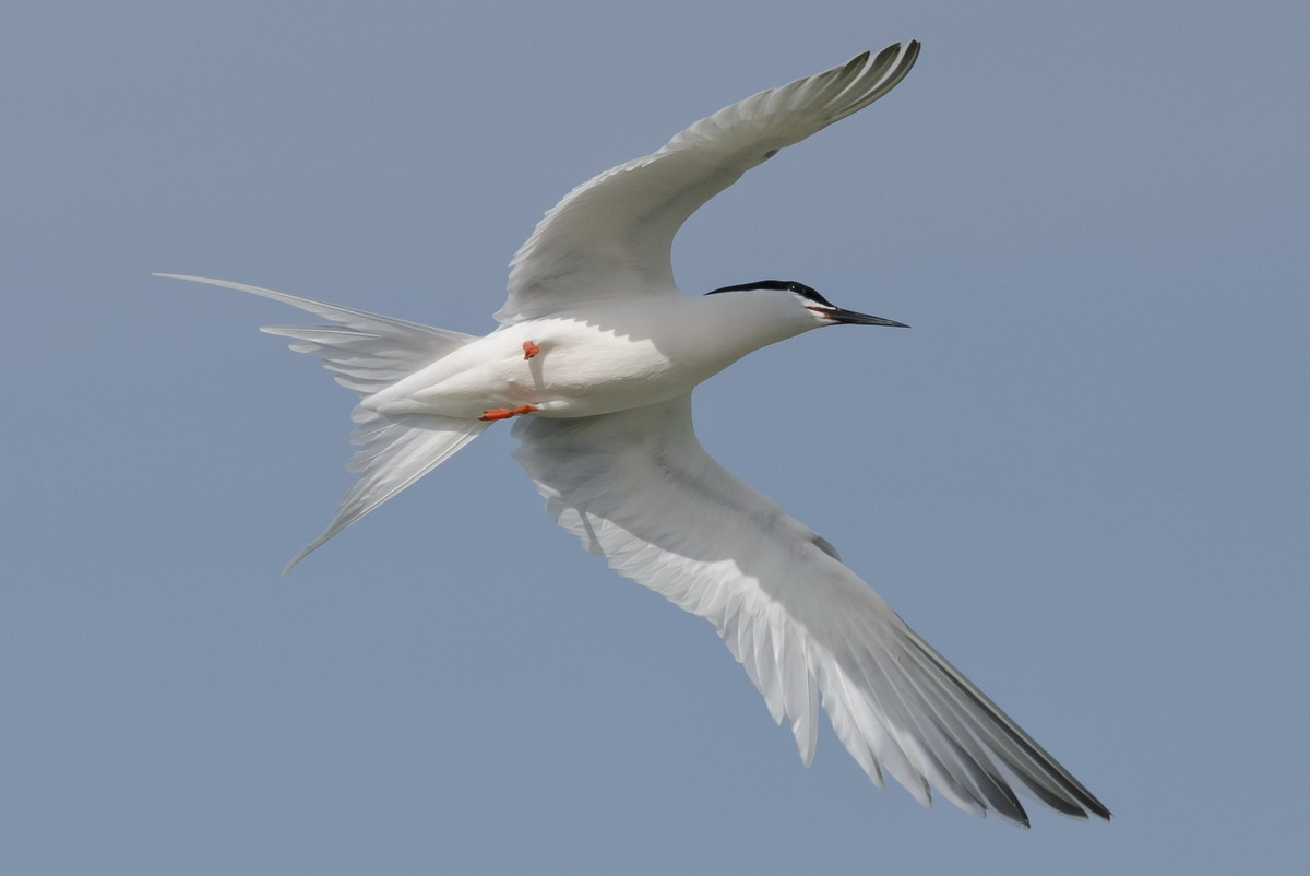 Roseate Tern, North Brother, Nova Scotia - June 15, 2012 - Ted D'Eon photo