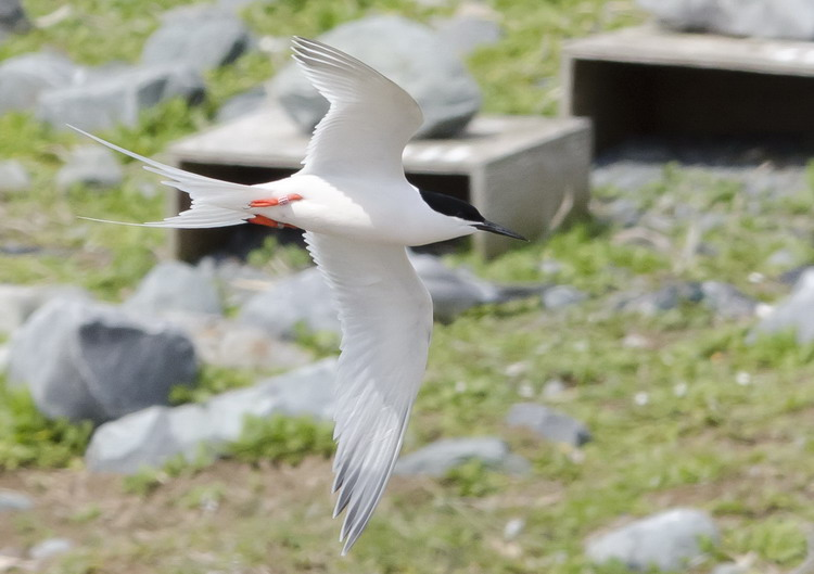 Banded Roseate Tern - North Brother - May 25, 2015 - Ted D'Eon photo