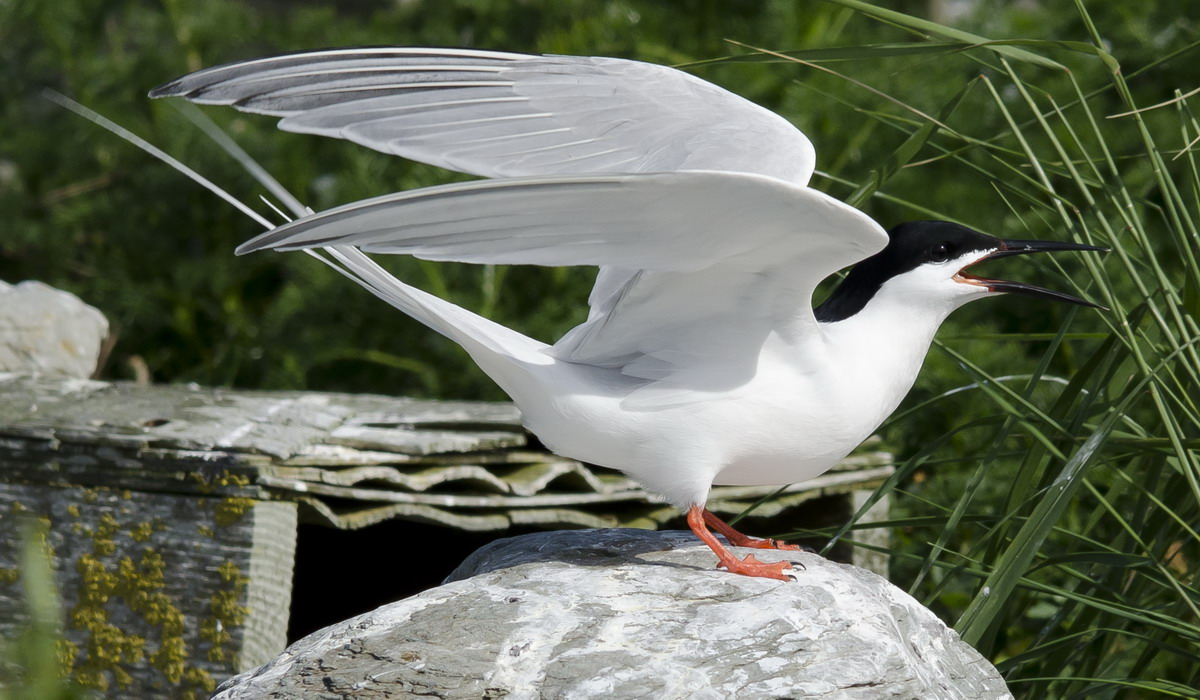 Roseate Tern, North Brother, Nova Scotia - June 16, 2012 - Ted D'Eon photo