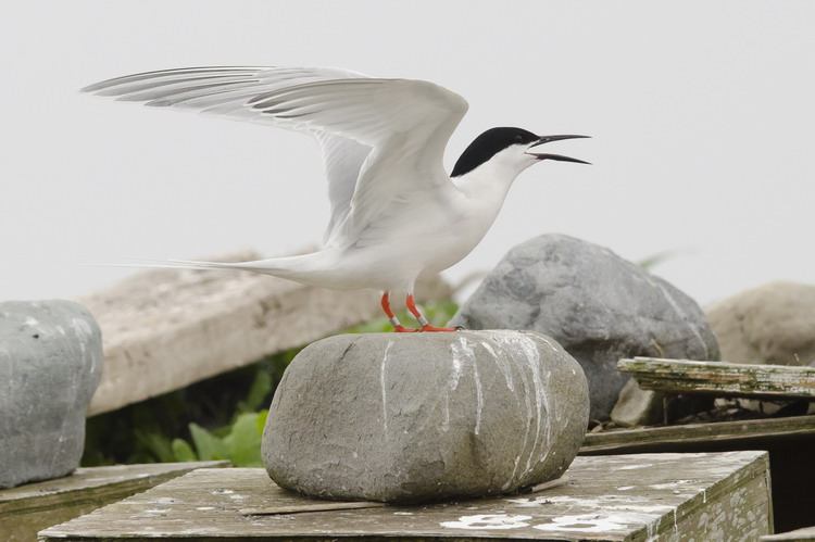 Roseate Tern 815N - North Brother - May 29, 2015 - Ted D'Eon photo