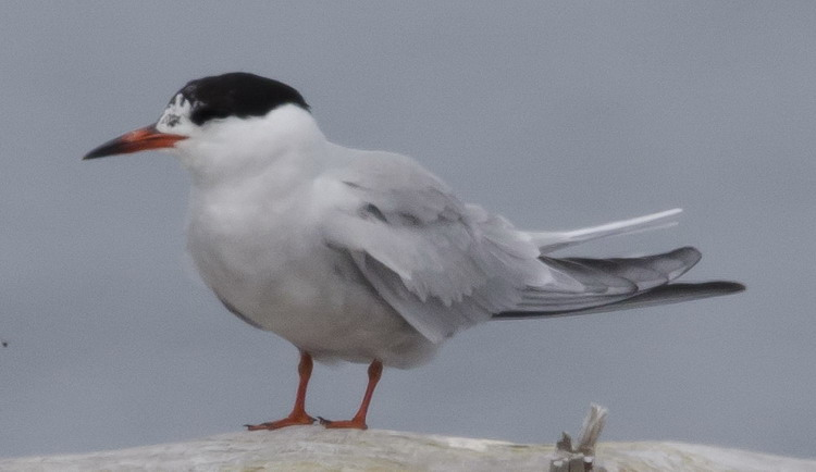 The TY Common Tern  - North Brother, June 16, 2017 - Ted D'Eon photo