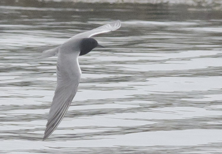 Black Tern - North Brother - May 29, 2015 - Ted D'Eon photo