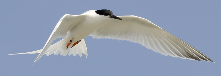 Roseate Tern, North Brother, June 16, 2012 - Ted D'Eon photo