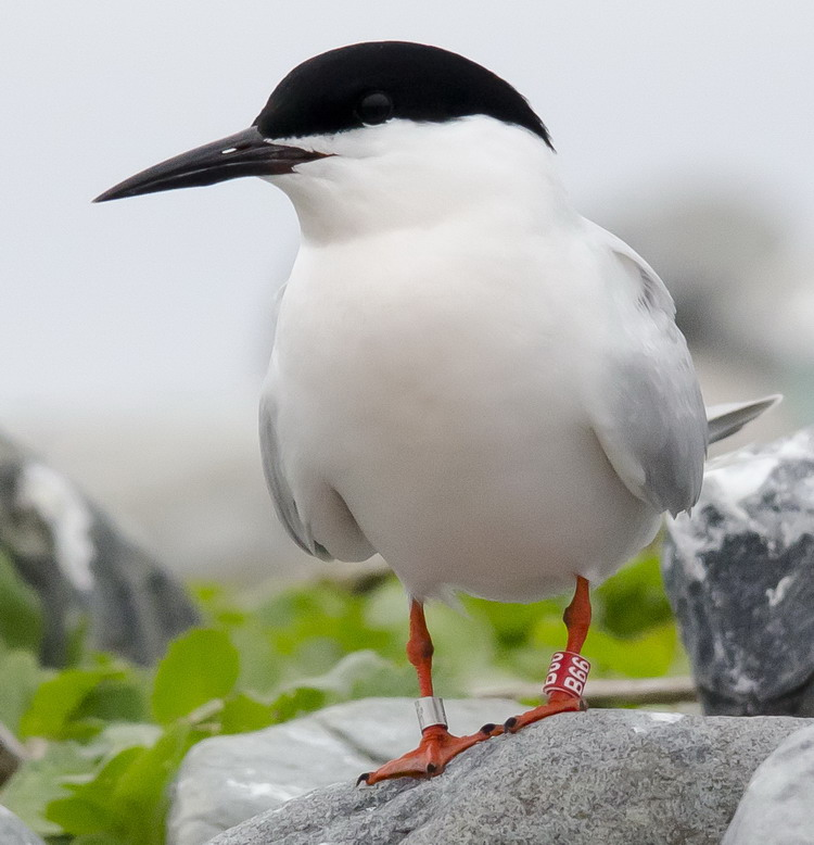 Roseate Tern B66 - North Brother - June 4, 2015 - Ted D'Eon photo