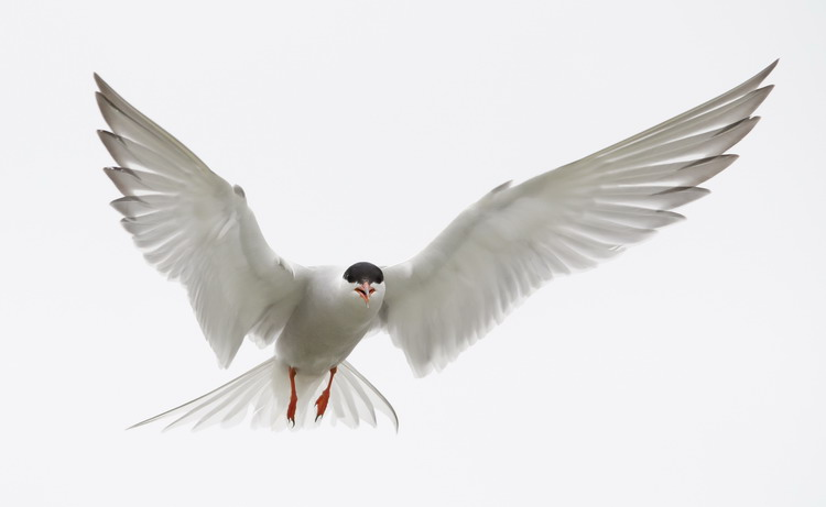 A hovering Common Tern - North Brother - June 4, 2015 - Ted D'Eon photo