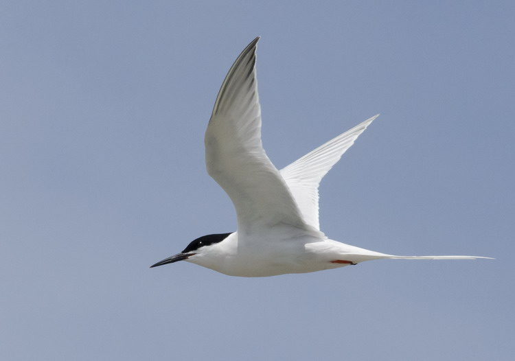 Roseate Tern in flight - North Brother - June 12, 2015 - Ted D'Eon photo