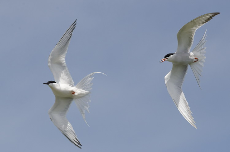 Roseate Tern (left), Common Tern (right) - North Brother - June 12, 2015 - Ted D'Eon photo