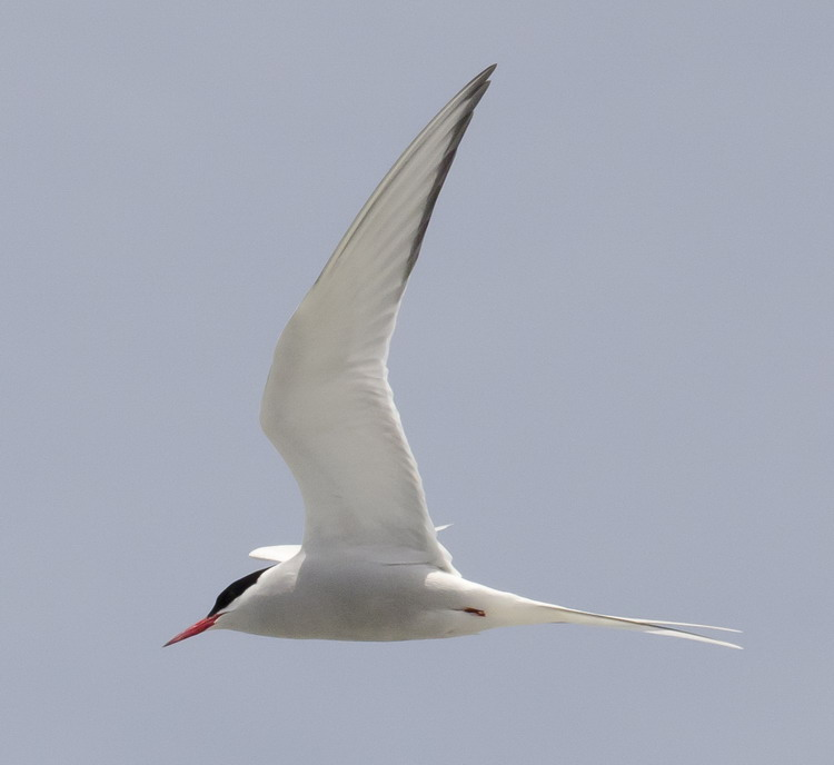 Arctic Tern in flight - North Brother - June 12, 2015 - Ted D'Eon photo