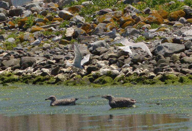 Gull chicks being dive-bombed by terns - Gull Island, July 3, 2017 - Ted D'Eon photo