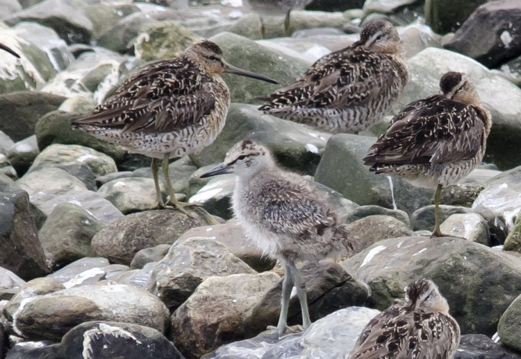 A Willet chick among the Dowitchers - Gull Island, July 11, 2017 - Ted D'Eon photo
