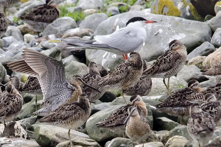 Short-billed Dowitchers - Gull Island, July 11, 2017 - Ted D'Eon photo