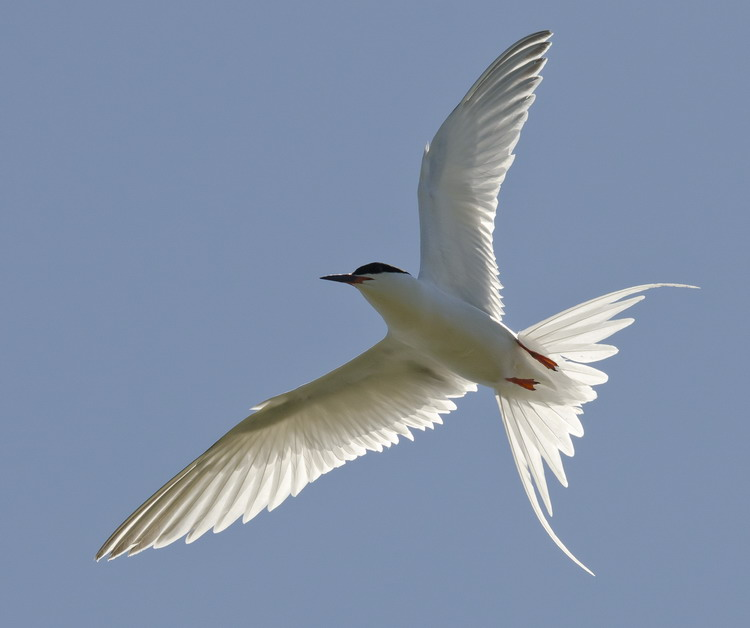 A Roseate Tern flying above North Brother, July 10, 2012 - Ted D'Eon photo