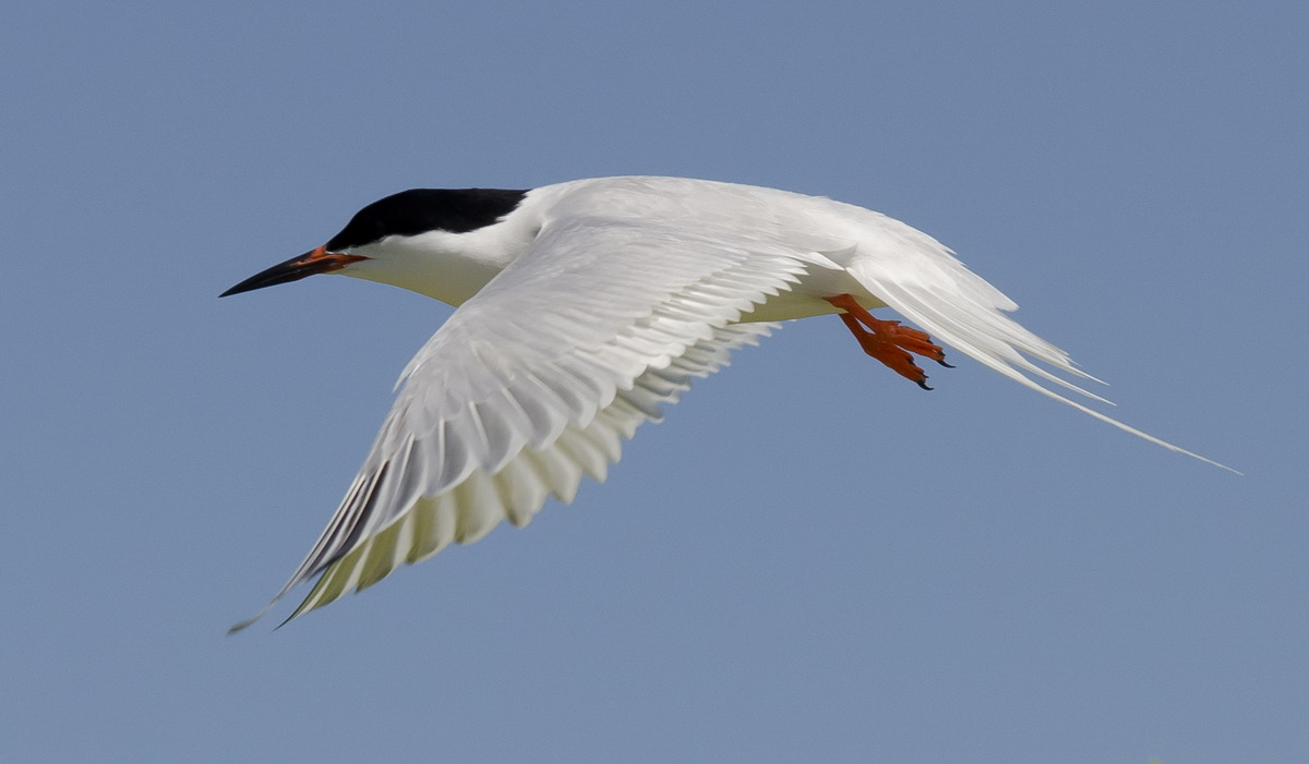 Roseate Tern, North Brother, Nova Scotia - July 10, 2012 - Ted D'Eon photo