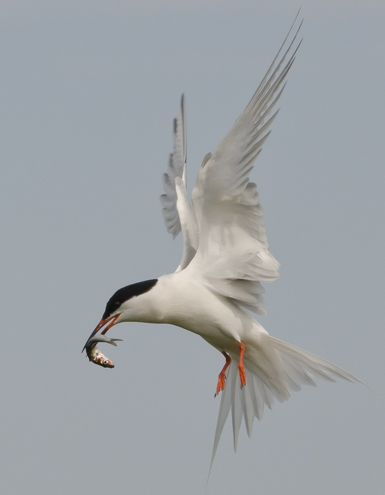 Roseate Tern bringing in food - N. Brother, July 11, 2012 - Ted D'Eon photo