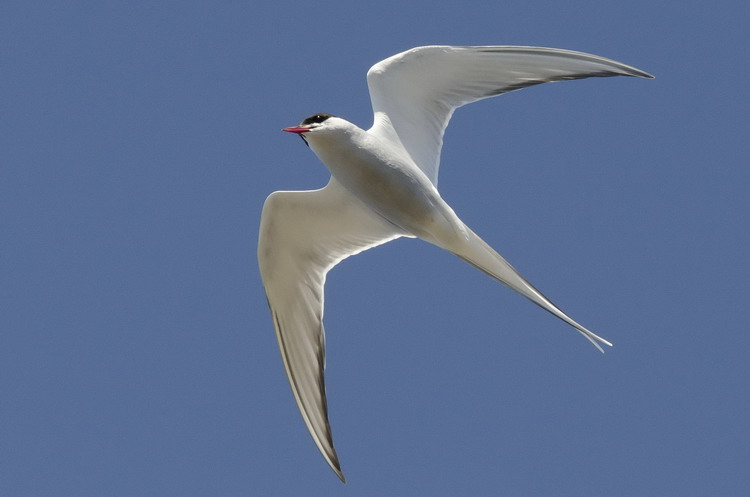 Arctic Tern, Gull Island, May 8, 2018 - Ted D'Eon photo