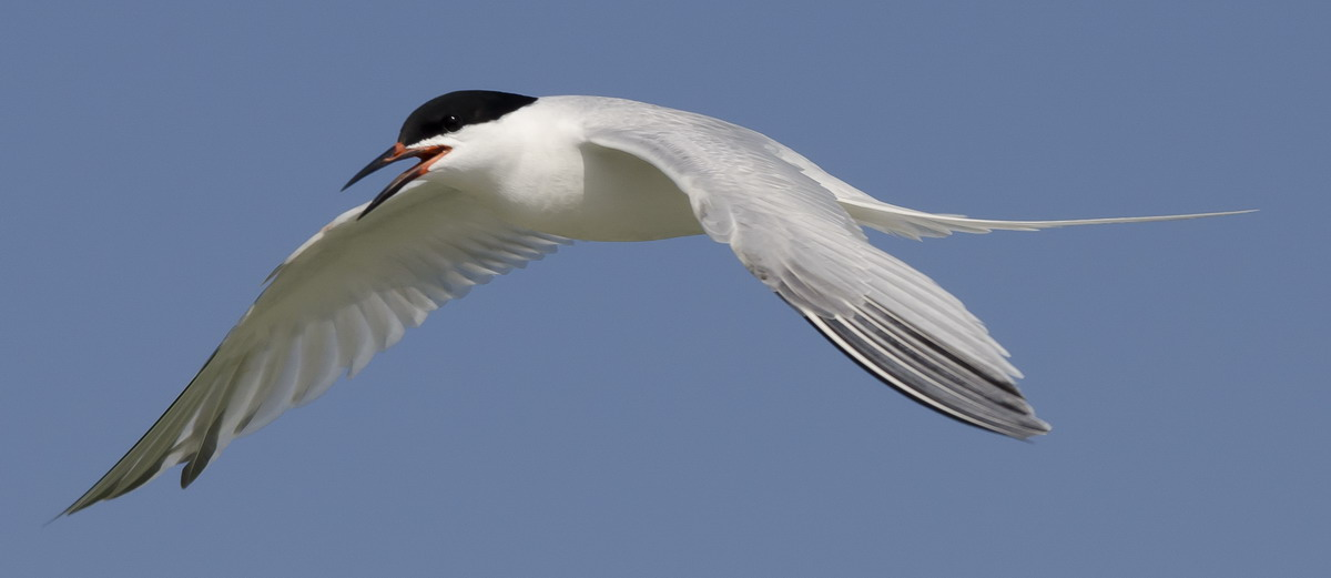 Roseate Tern, North Brother, Nova Scotia - July 18, 2012 - Ted D'Eon photo