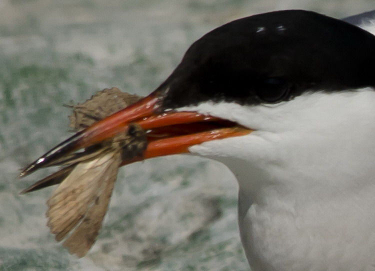 Common Tern eating butterfly or moth - N. Brother, July 18, 2012 - Ted D'Eon photo