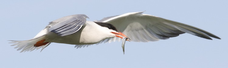 Common Tern with fish in bill - North Brother - July 16, 2015 - Ted D'Eon photo