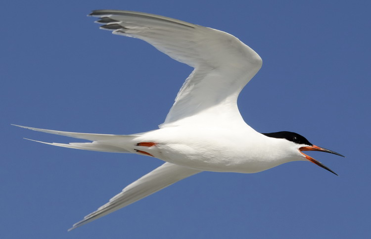 Adult Roseate Tern flying by - N. Brother, July 25, 2012 - Ted D'Eon photo
