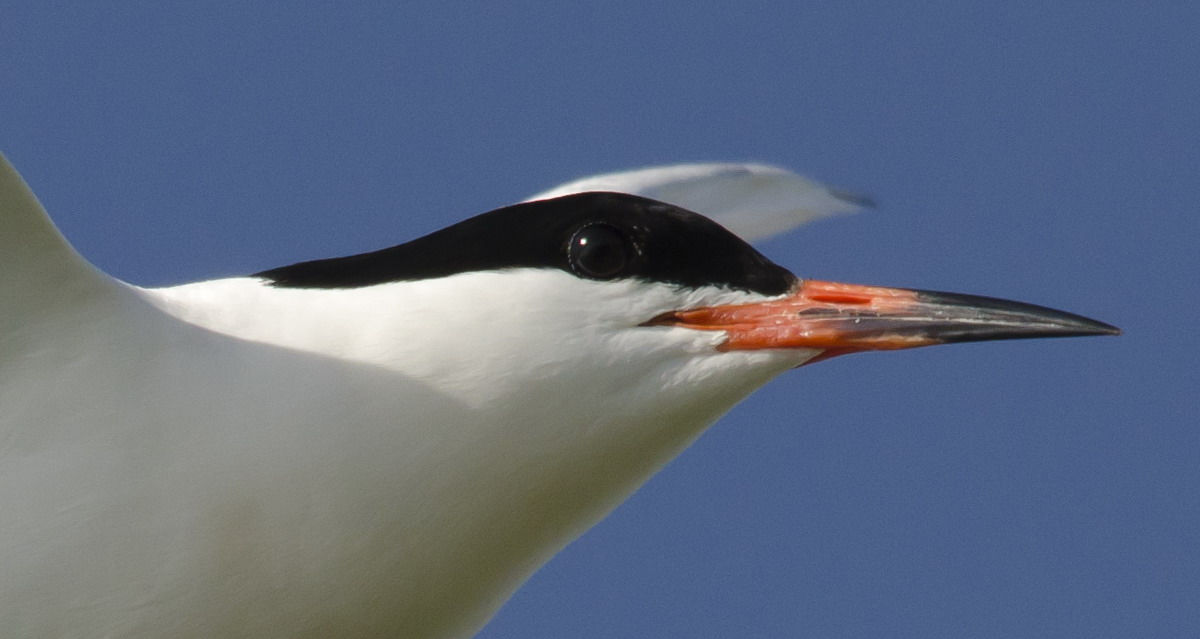 Roseate Tern, North Brother, Nova Scotia - July 25, 2012 - Ted D'Eon photo