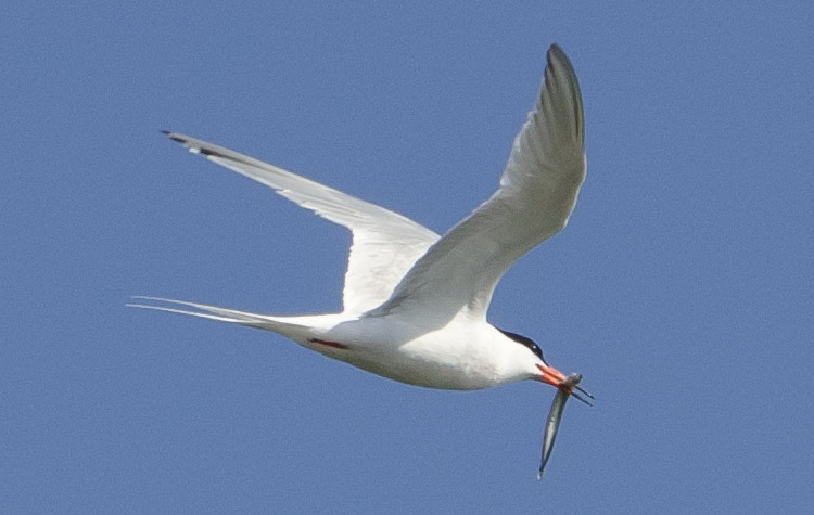 Roseate Tern carrying sandlance - N. Brother, Aug. 7, 2012 - Ted D'Eon photo