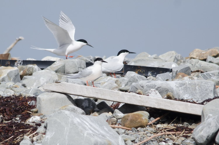 Roseate Terns at nest N4 - Gull Island, June 6, 2018 - Ted D'Eon photo