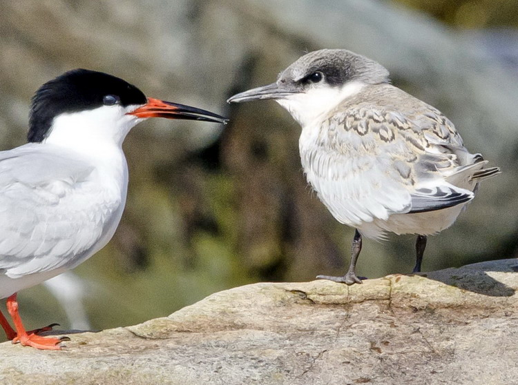 Roseate Terns, adult and juvenile - North Brother - July 16, 2015 - Ted D'Eon photo